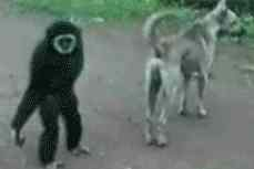 primate fools with dog - link to GIF page